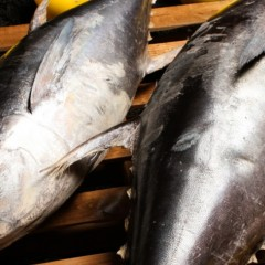 Top Mexican Fishing Companies Withdraw From Fishing Bluefin Tuna, Signaling Commitment To Sustainability